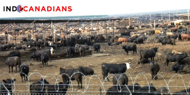 Beef Ten TimesMore Damaging To The Environment Than Chicken, Pork Or Dairyproducts