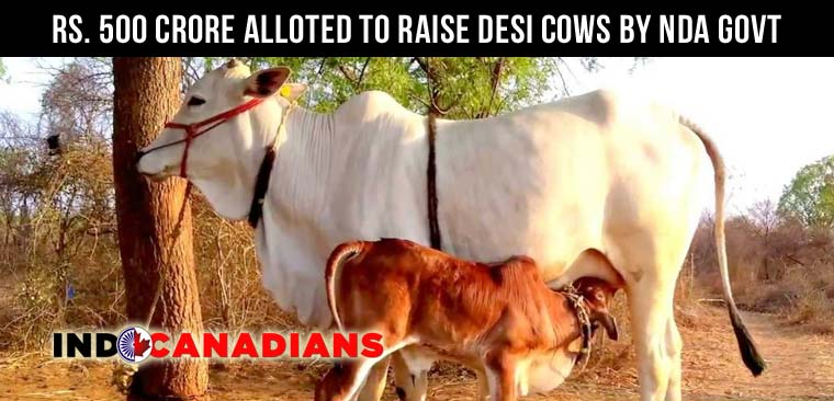 """Rs. 500 crore alloted to raise desi cows and set up """"gaushalas"""" by NDA govt"""