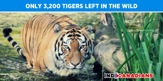 Only 3,200 tigers left in the wild