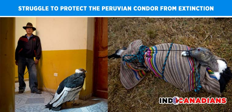 Bound by Tradition: Struggle to protect the Peruvian Condor from extinction